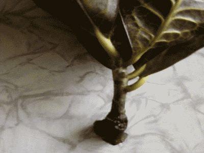 Как пересадить кротон в домашних условиях пошаговое
