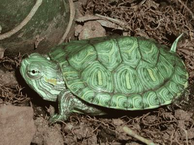еда для черепах