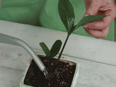 поливаем растение