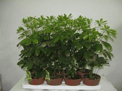 Домашнее растение