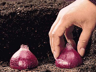 Гиацинт и его корень