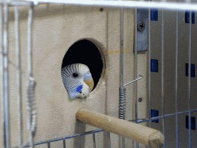 Дома вырастить попугая