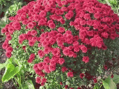 Хризантему дома ростить