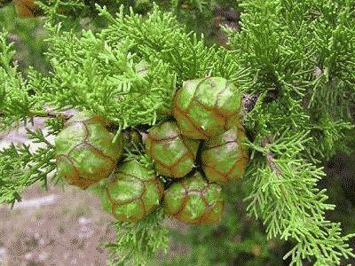 Кипарисовые плоды в природе