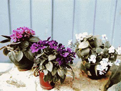 На улице вырастить хризантемы