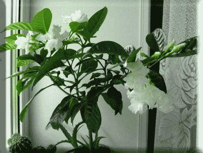 комнатный вариант растения