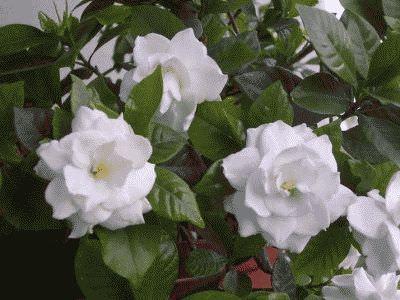 лечебные свойства цветка