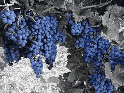 виноград изaбелла