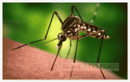Почему комар может умереть