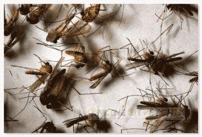 Комары умирают от возраста