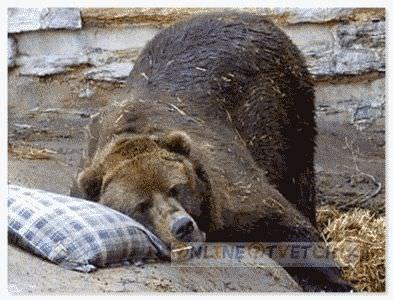 Медведь сосет лапу