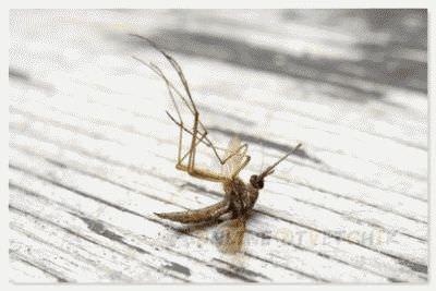 Почему погибают комары в природе