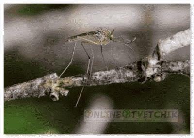 Комары не могут приспособится