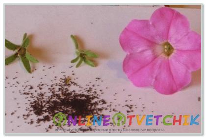 Как собирать семена петунии махровой