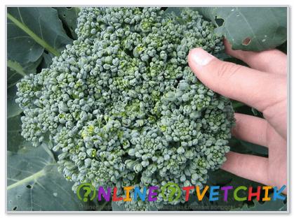 Как ухаживать за капустой брокколи