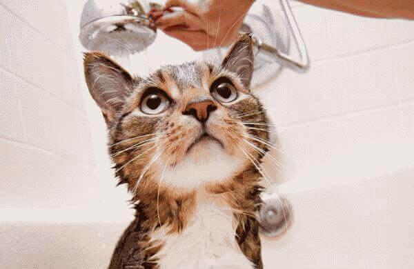 Как вывести блох у кошки