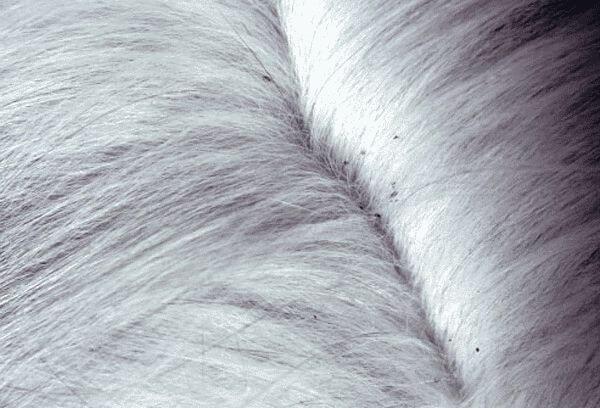 http://www.cats-british.ru/files/articles/blohi-y-koshek-2.jpg