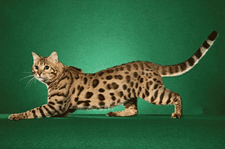 481892__bengal-cat_p