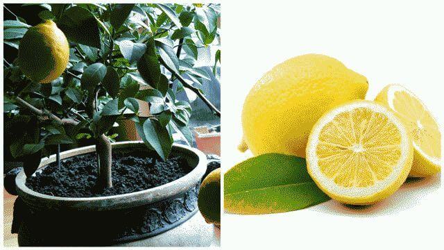 Выращивание кизила из косточки в домашних условиях 43