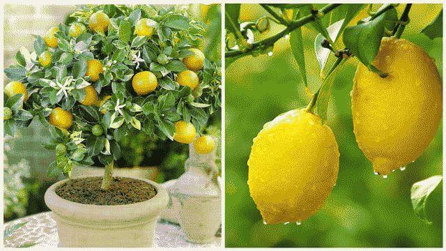 Условия выращивания лимона в домашних условиях 23