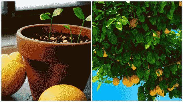 Когда плодоносит лимон из косточки в домашних условиях