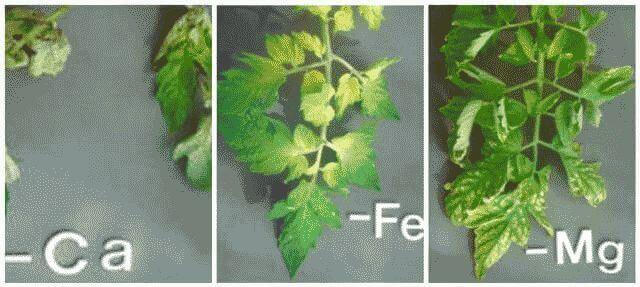 Почему желтеют листья у помидоров и как лечить?