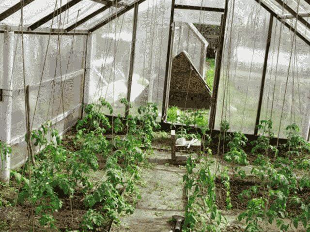 Почему не завязываются помидоры в теплице?
